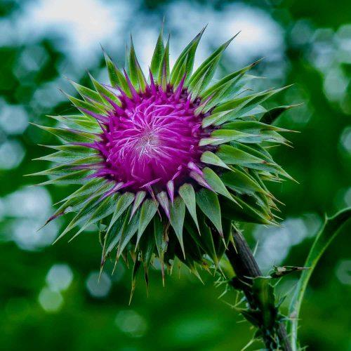 Thistle Bloom