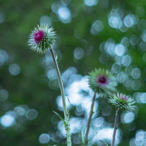 Thistle Blooms